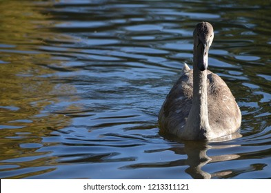 young wild grey swan (cygnet) in the sunshine in the water, bird photography at a lake in Europe in the autumn of 2018
