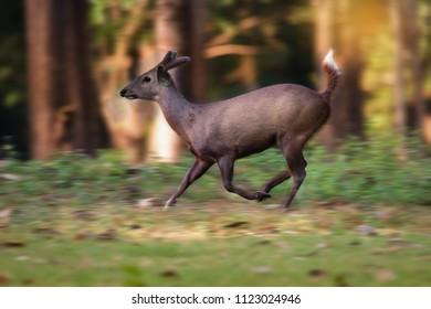 Young wild Hog deer runaway, Huai Kha Khaeng wildlife sunctuary, Uthai Thani, Thailand. A Runaway wild Hog deer