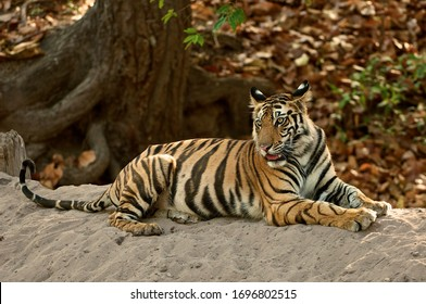 Young wild male Bengal tiger relaxing on a sandbank