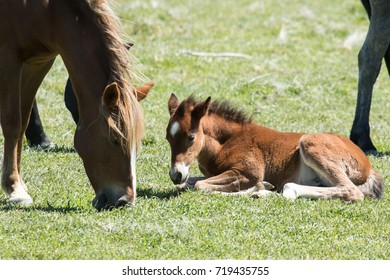 Young wild mustang laying in grass