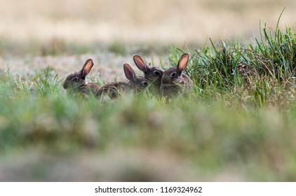 Young wild rabits in the grass