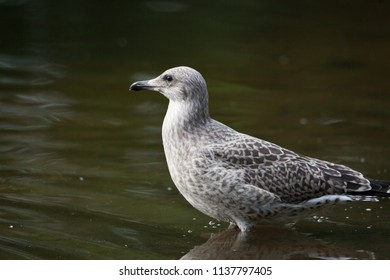 Young wild seagull standing