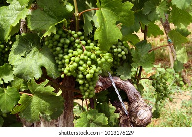 Young wine grapes