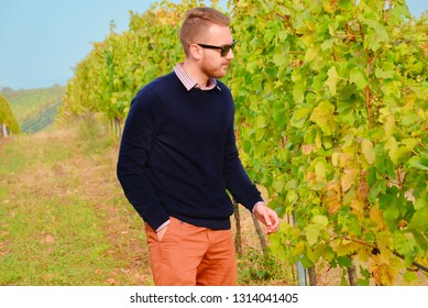 Young winemaker checking white grapes shortly before harvesting. The vine leaves are infected by wine disease which could damage the crop. The young man is wearing dark blue sweater and sunglasses.