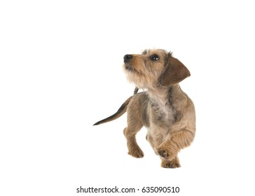 Young wire haired dachshund walking around looking up isolated on a white background