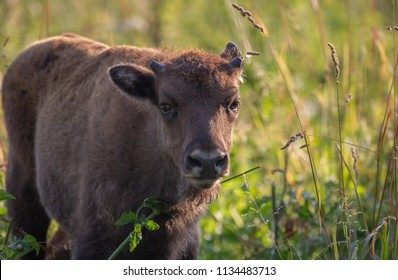 Young Wisent calf - european Bison