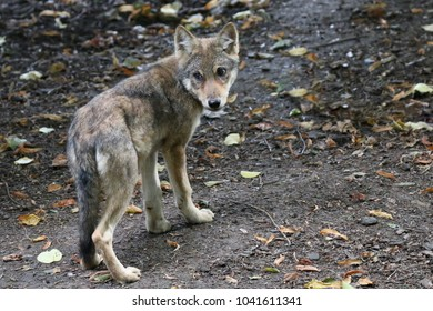 A young Wolf cub