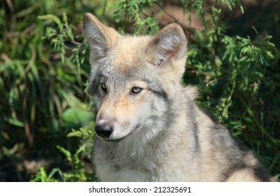 young wolf in nature