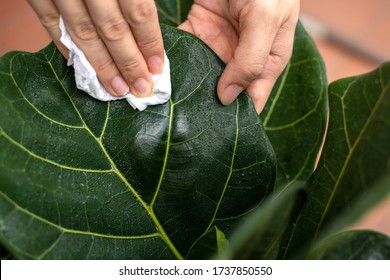 Young woman caring for a houseplant in a pot. Girl gently wipes the green leaves of Ficus Lyrata. Plant care concept.