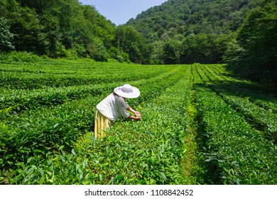 Young woman collecting tea in the plantation on the Black Sea coast of the Caucasus