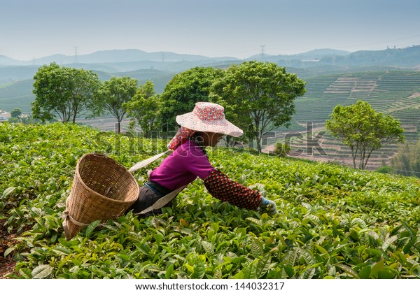 Young woman collecting tea in vicinities of city Sishuanbanna.