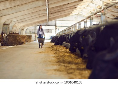 Young woman farm worker farmer walking along stalls with black cows and bulls and carrying hay for feeding on animal farm. Agriculture and modern animal farm concept