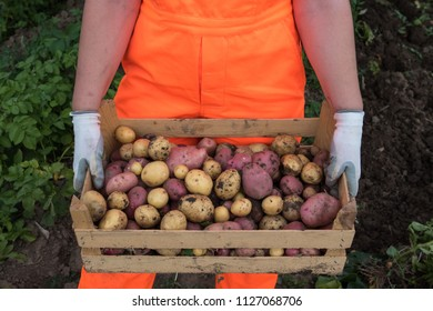Young woman farmer in orange work clothes digs potatoes for food. country woman, farmer, holding the wooden box with fresh harvested young organic potatos picked for sale on farmmarket
