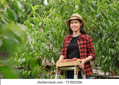 young woman farmer picking peaches from tree. Girl on the ladder in garden. Harvest concept