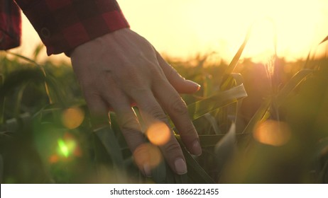 young woman farmer walks through wheat field at sunset, touching green ears of wheat with his hands - agriculture concept. A field of ripening wheat in the warm sun. business woman inspects her field.