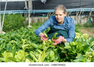 Young woman gardener  in apron working with Malabar spinach in  hothouse