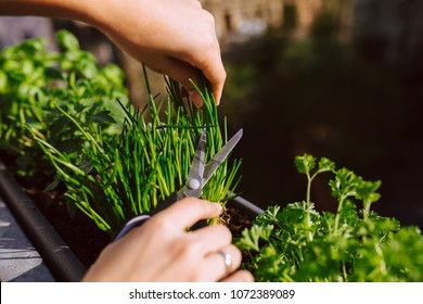 young woman gardening and cutting fresh chives with scissors