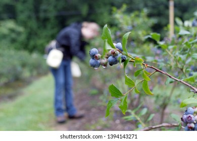 A young woman gathers mountain blueberries wet with dew on an early summer morning