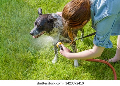 Young woman gives her dirty black and white mixed breed dog  a hose shower outside