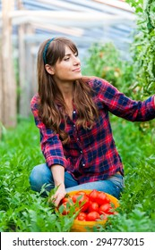 Young woman in a greenhouse with tomatoes, harvesting.