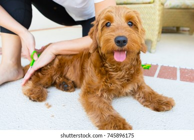 young woman grooming a miniature golden doodle