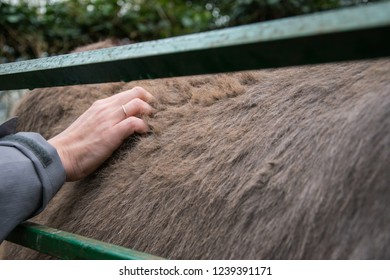 Young woman hand caresses the fur of a brown domestic donkey.