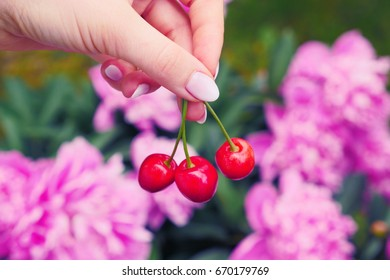 Young woman hand holding cherry outdoor. Close up of hand with cherry on a sunny day. Woman showing cherry. Fresh Sweet cherries in the hand.