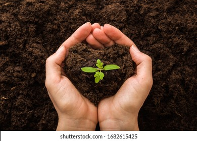 Young woman hands holding green, small tomato plant with ground. Early spring preparations for garden season. Closeup. Point of view shot.