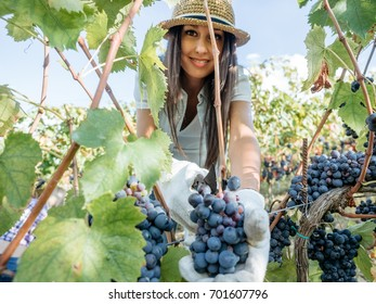 Young woman harvesting red grapes in the vineyard