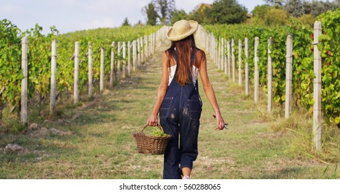 The young woman harvesting in vineyards , collects the selected grape. biological concept id , organic food and fine wine handmade