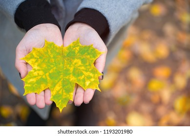 Young woman hold nice bright leaves in two hands, small red and yellow maple leaf lie on open palm. Blurred grass and fallen leaves on background, top-down shot. maple leaf on the palms