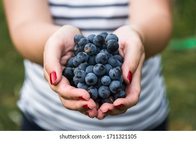 A young woman holding a bunch of red wine grapes in a vineyard