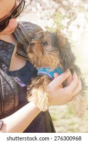 young woman holding a Yorkshire terrier puppy. Outdoors