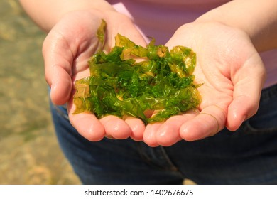 Young woman holds in hands fresh green laminaria seaweeds on the sea water background. Holds in hands. Breakfast, lunch, dinner. Raw, vegan, vegetarian healthy food, japanese cuisine recipes.