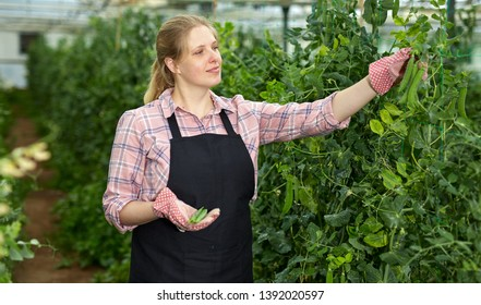 Young woman horticulturist in gloves picking harvest of pease in  greenhouse
