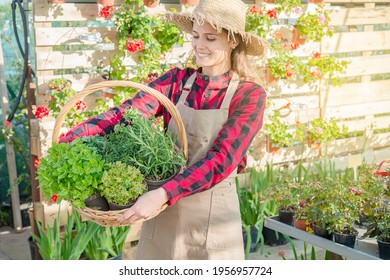 young woman horticulturist looks at a basket of aromatic plants such as thyme and oregano