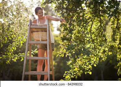 Young woman up on a ladder picking apples from an apple tree on a lovely sunny summer day - lit by warm evening light (shallow DOF; color toned image)