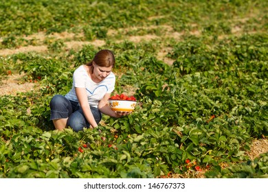 Young woman on organic strawberry farm in summer, picking berries