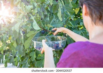 Young woman picking little purple figs from a tree with a transparent plastic bowl. On the left side, rays of summer sunlight shine through the fig branches.