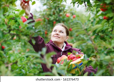 Young woman picking red apples in an orchard.