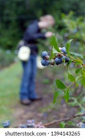 A young woman picks ripe mountain blueberries wet with dew on an early summer morning