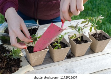young woman planting tomatoes plants to the paper pots. copy space.