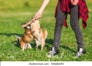 young woman plays with two small dogs on the meadow