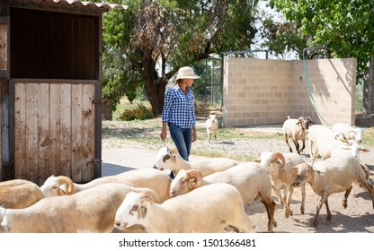Young woman shepherding herd of sheeps on her farmyard on sunny summer day