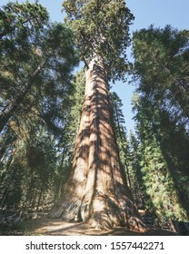 young woman tourist looks up at the General Sherman Tree in Sequoia National Park, California. This tree is the largest known living single stem tree on Earth