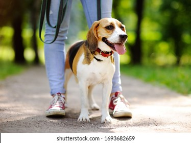 Young woman walking with Beagle dog in the summer park. Obedient pet with his owner. Walking of pets.