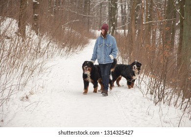 young woman in winter forest with bernese mountain dogs walking