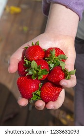 A young woman's hand holding out a hand full of just picked, ripe and juicy strawberries
