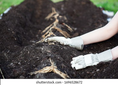 A young woman's hands planting a row of Asparagus rhizomes or crowns in a raised bed with organic compost and humus. Shallow depth of field with selective focus on crown of root near back hand.