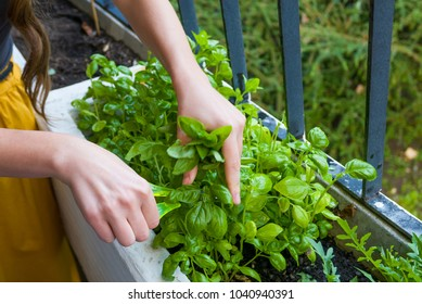 Young women cuts fresh herbs for a dinner